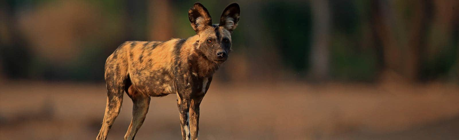 Painted Dog Bret Chrman Wildlife Photography