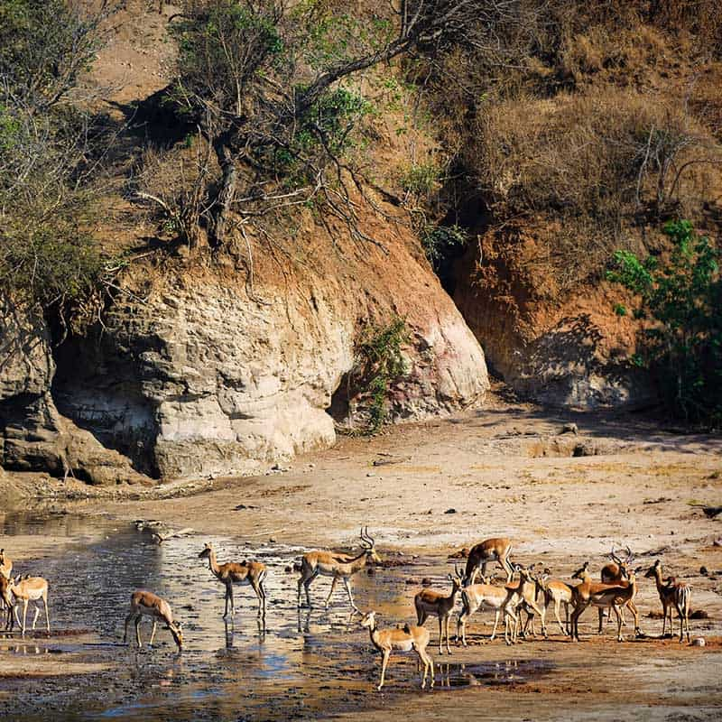 Chitake Springs Bushlife Safaris Impala