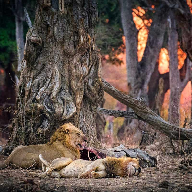 Chitake Springs Bushlife Safaris lion kill