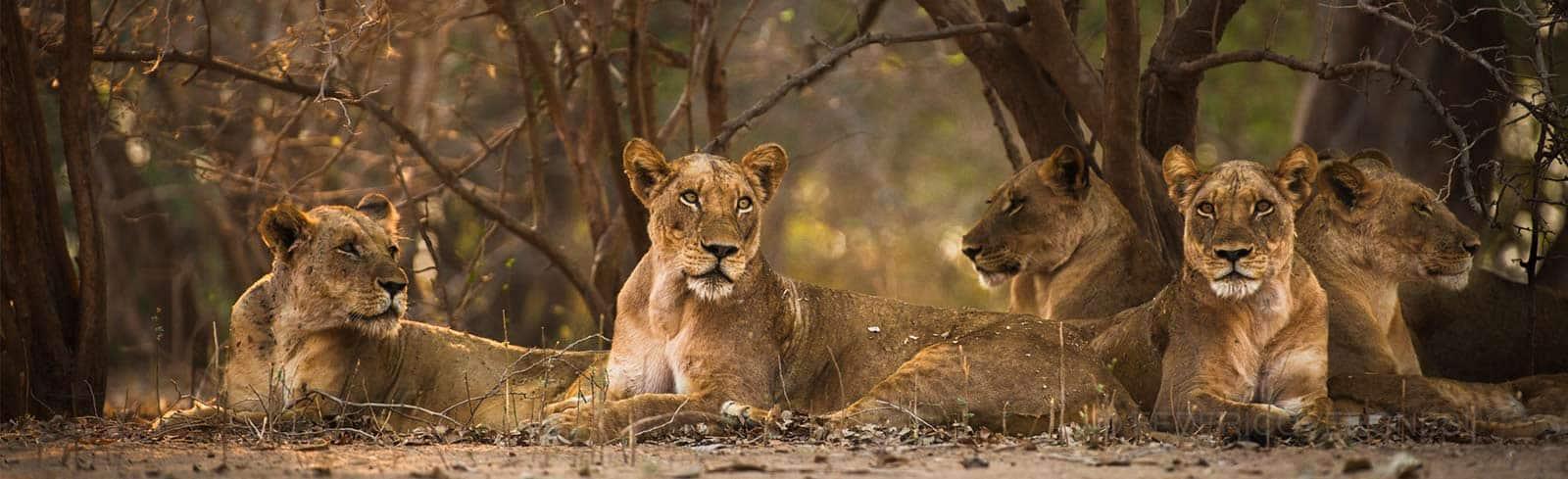 Lions Mana Pools National Park - Federico Veronesi