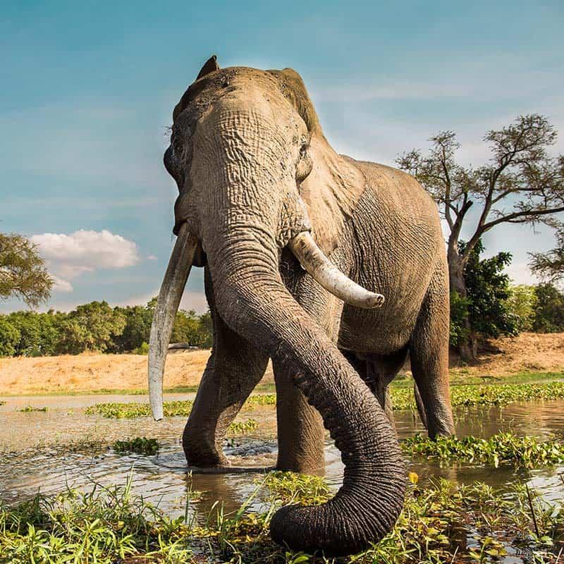Ruwesi Canoe Trail Bushlife Safaris elephant