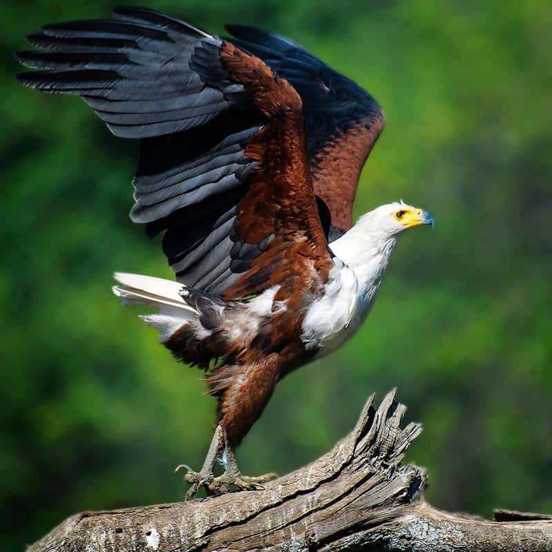 Ruwesi Canoe Trail Bushlife Safaris fish eagle