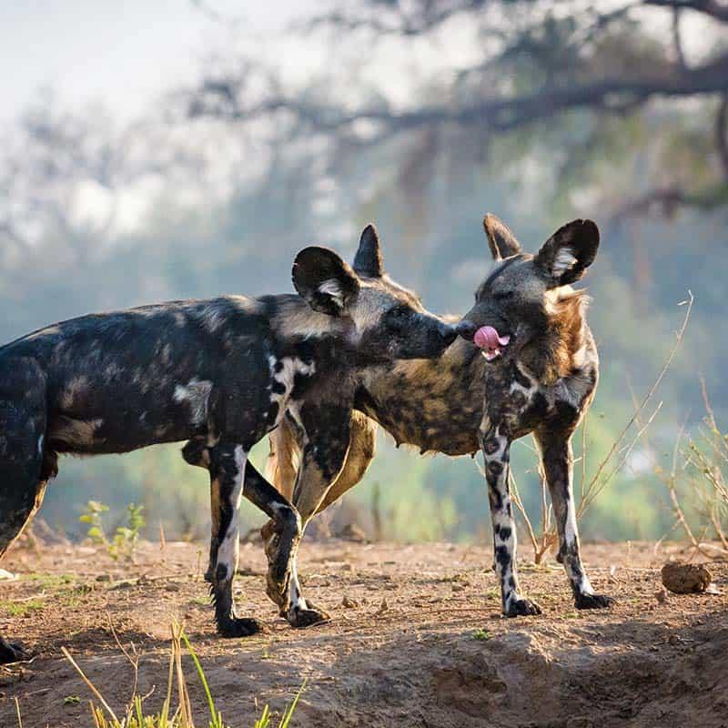 Vundu Camp Bushlife Safaris Painted Wolves