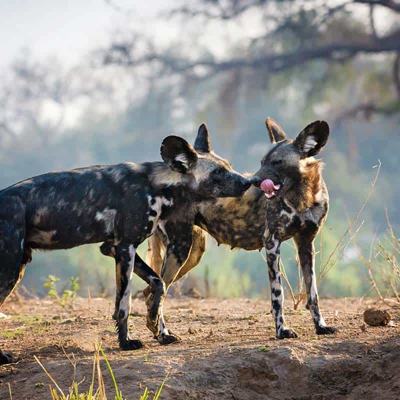 Vundu Camp Bushlife Safaris Painted Wolves