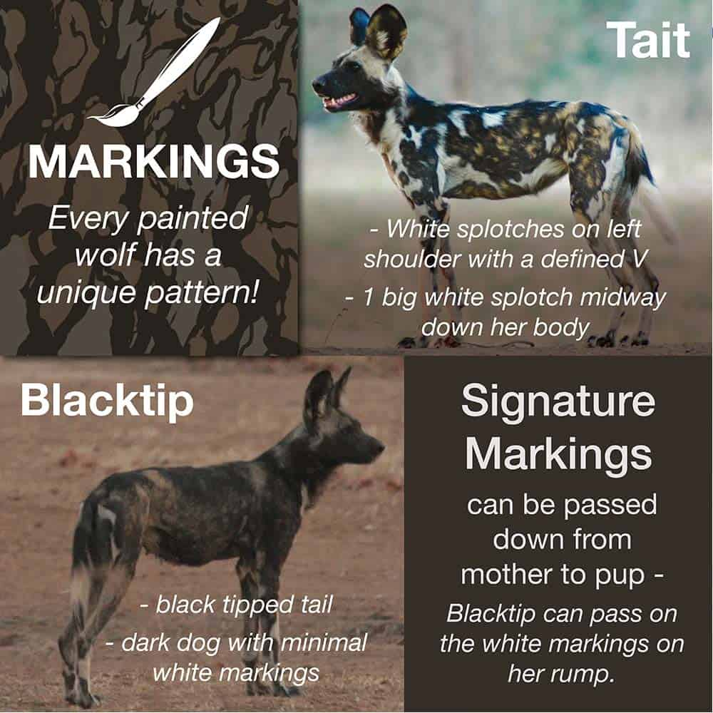 Painted Wolf Markings