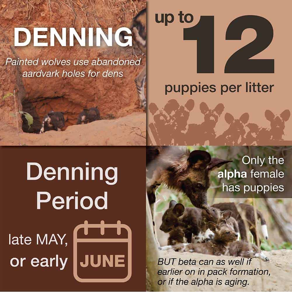 How and When Painted Wolves Den
