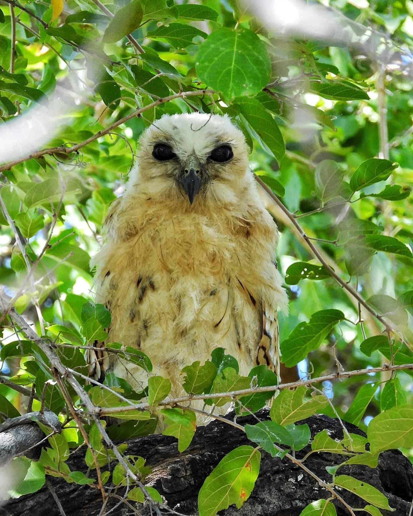 Pels Fishing Owl