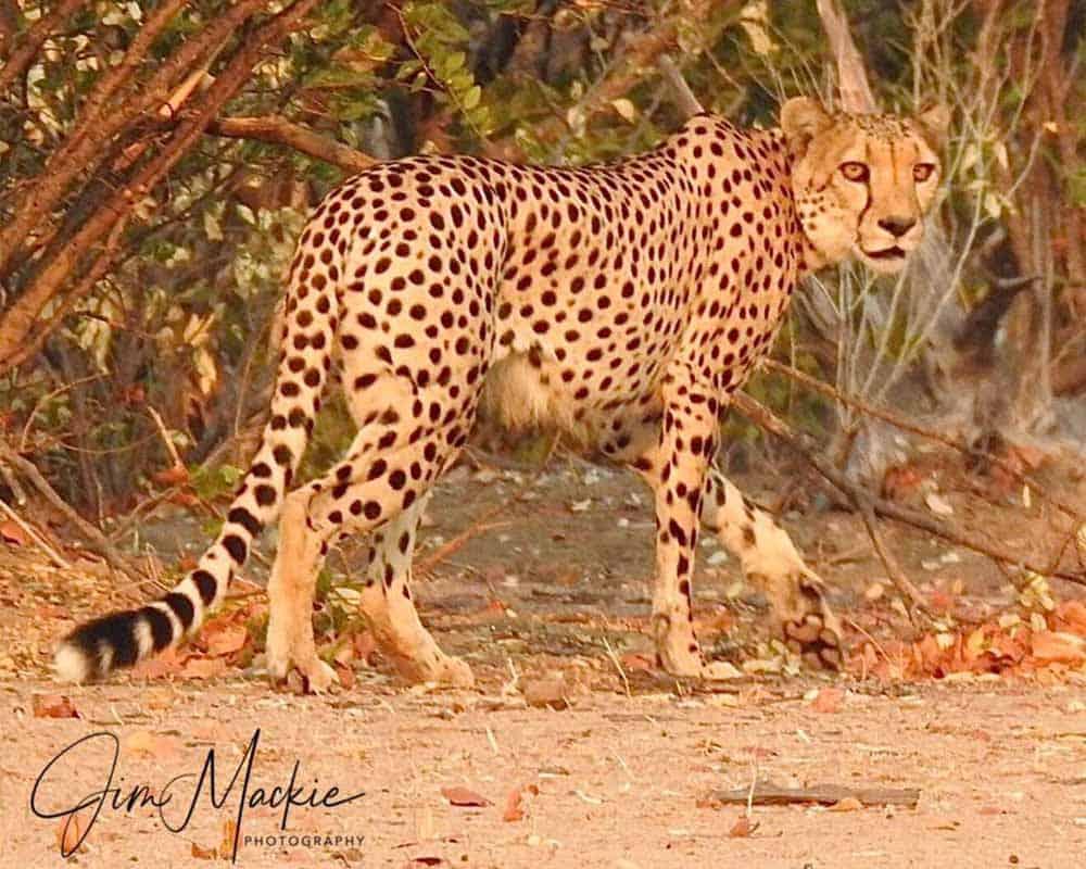 Cheetah Mana Pools 1