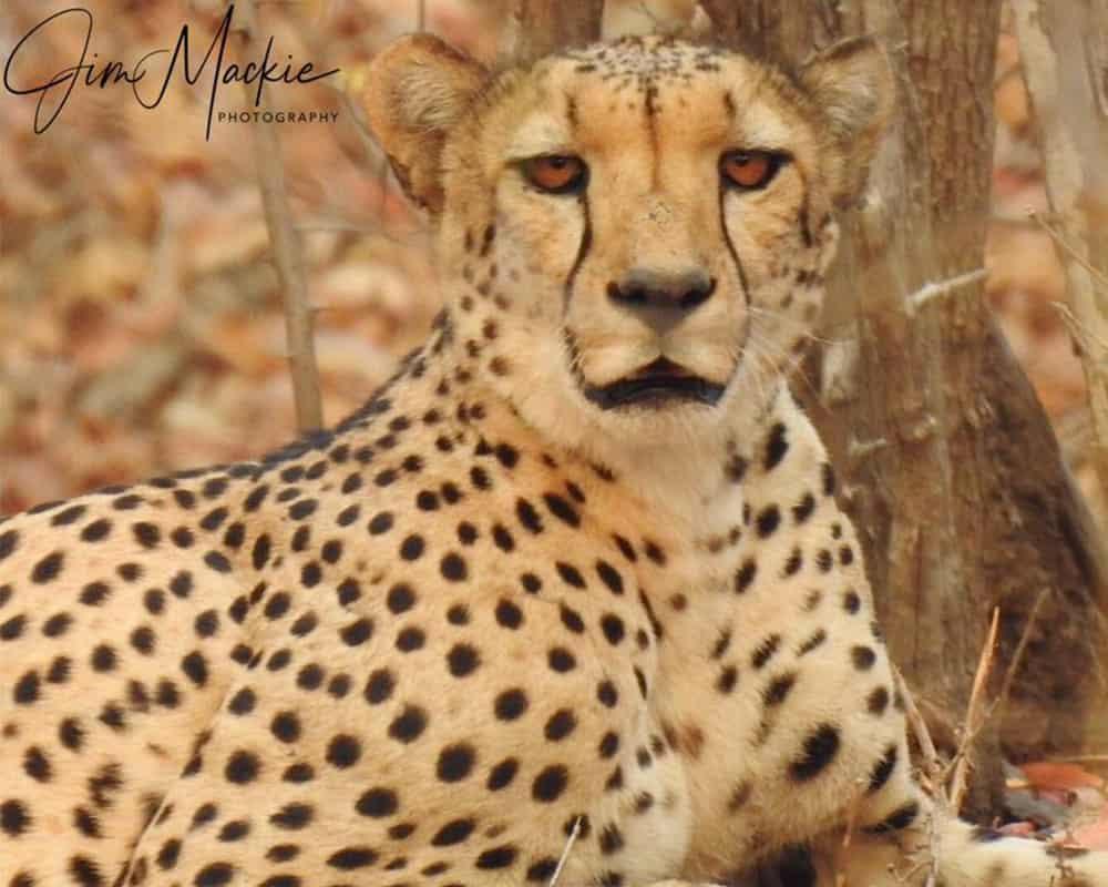 Cheetah Mana Pools