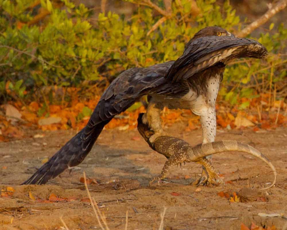 Crowned Eagle Mana Pools