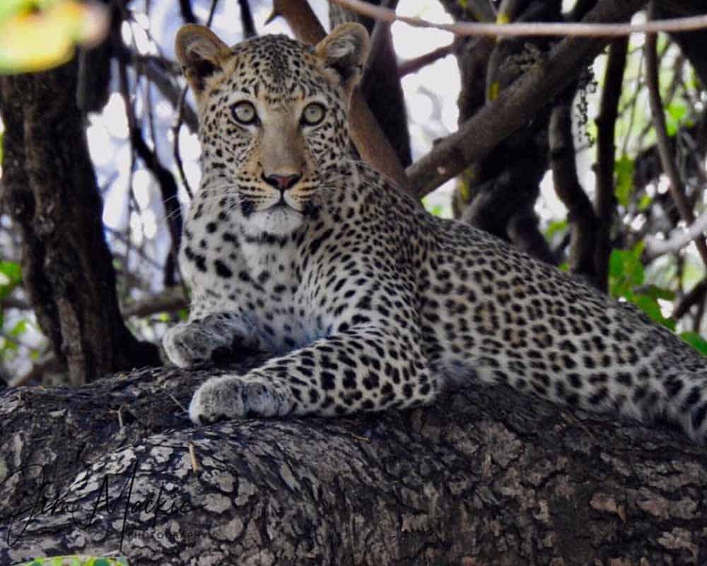 Leopard Kill Mana Pools 1