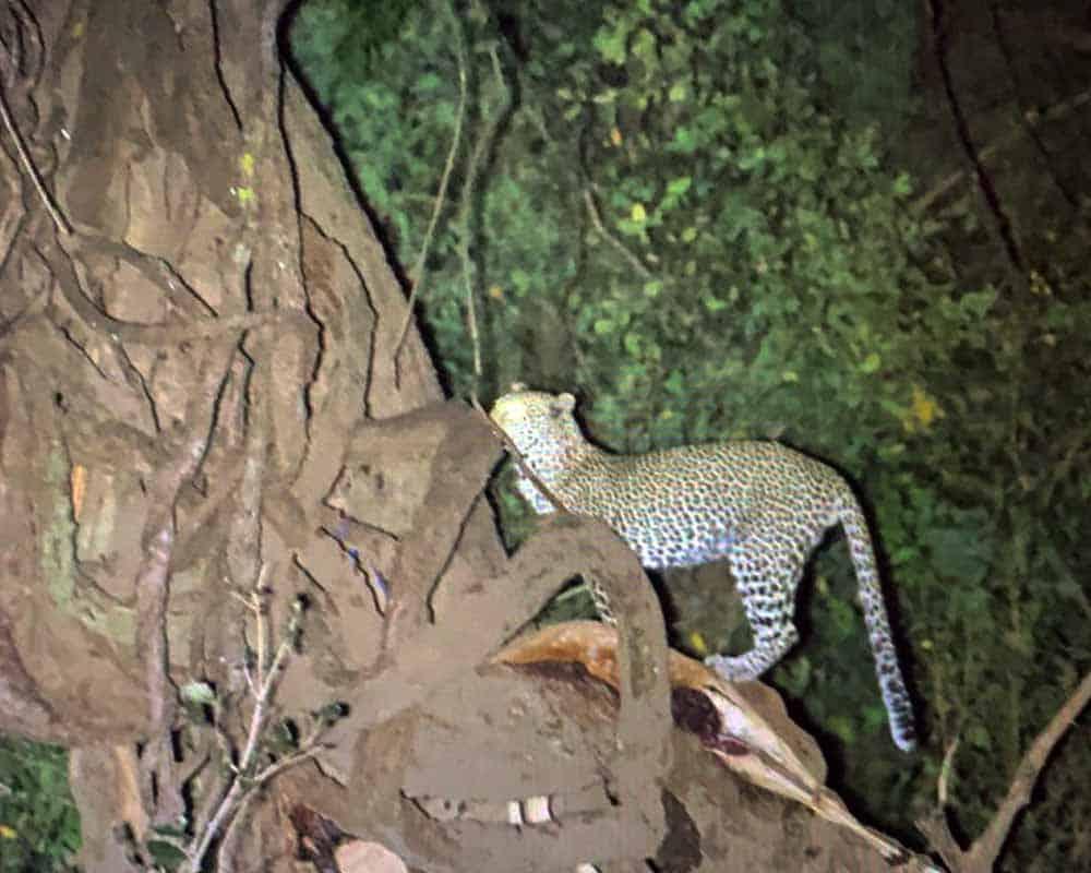 Leopard Kill Mana Pools