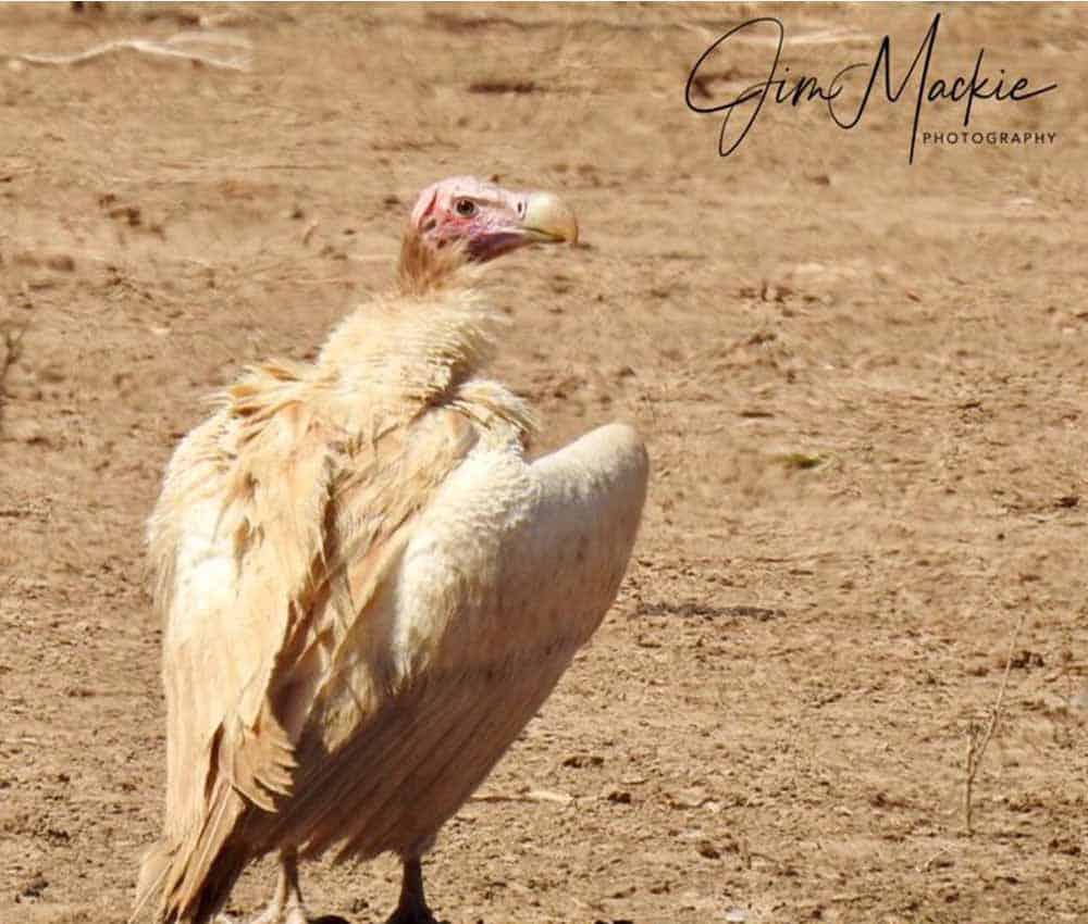 Leucistic Lappet Faced Vulture Mana Pools