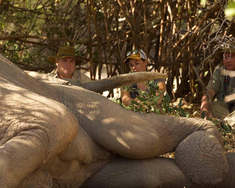 Tusker Resting