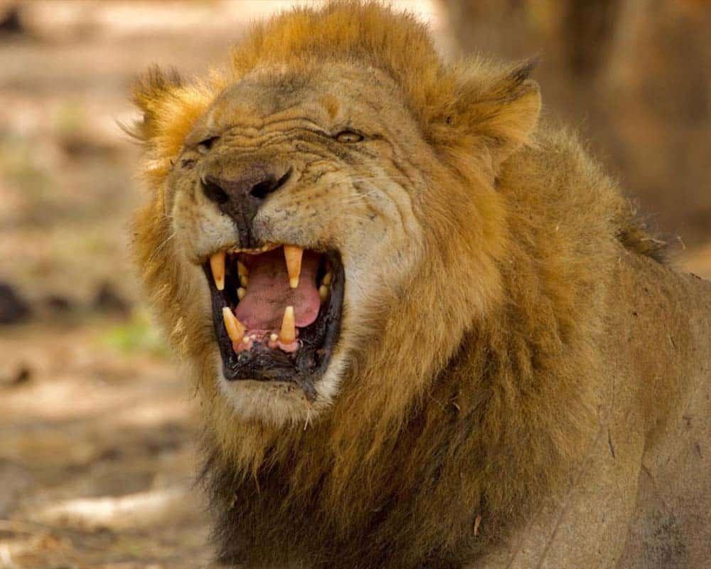 Lion Fleschman