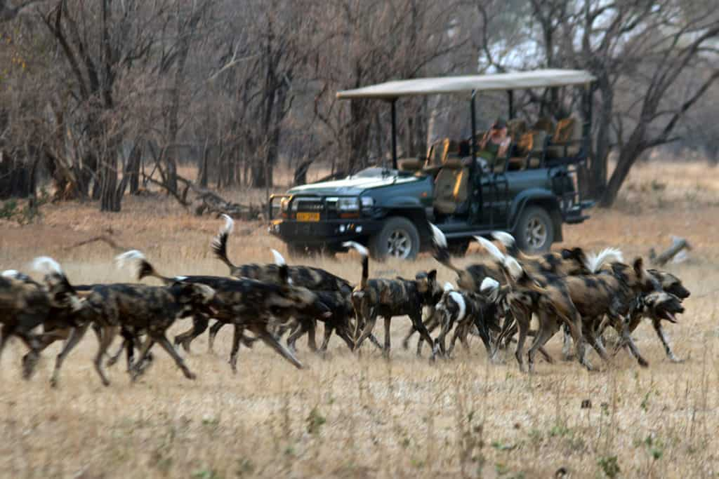 African Wild Dog Gallery 1
