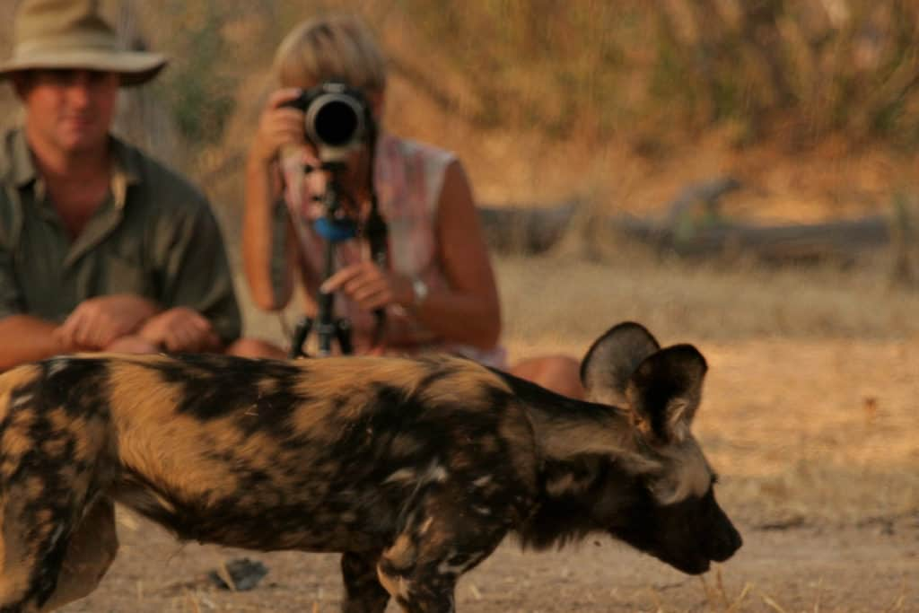 African Wild Dog Gallery