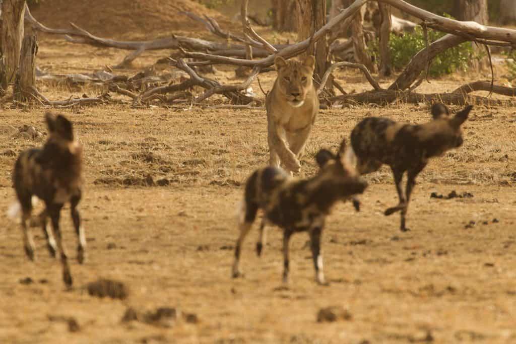 African Wild Dog Gallery 3