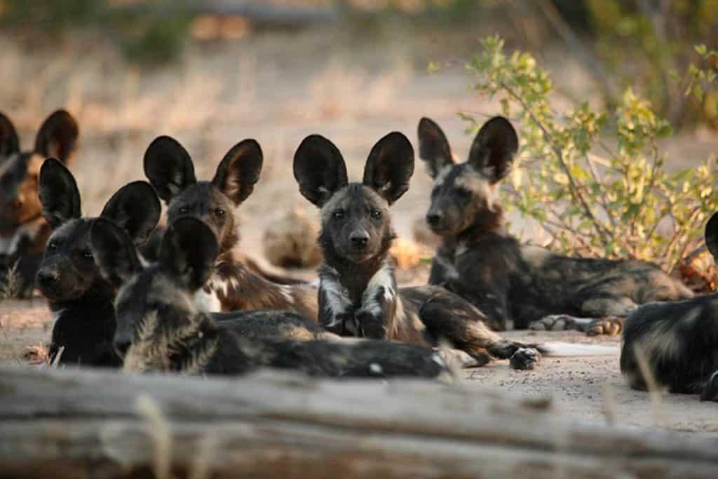 African Wild Dog Gallery 4