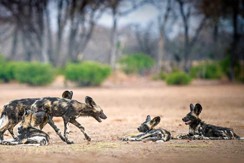 African Wild Dog Gallery 6