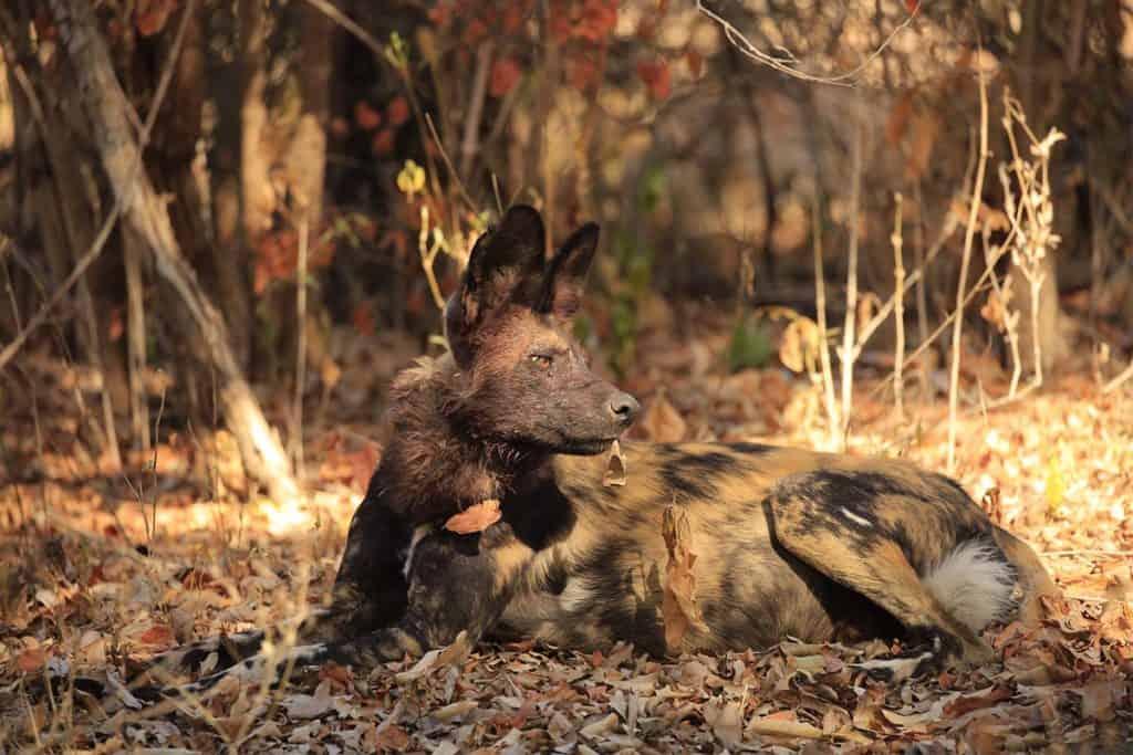 African Wild Dog Gallery 8