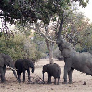 Elephant Mana Pools