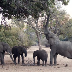 Elephant Mana Pools