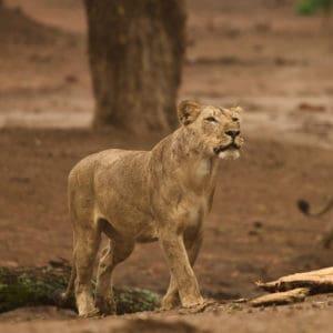 Lion Vundu Camp