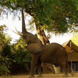 Little Vundu Zambezi