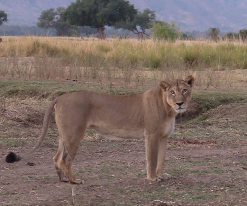 Carnivore collaring Mana Pools