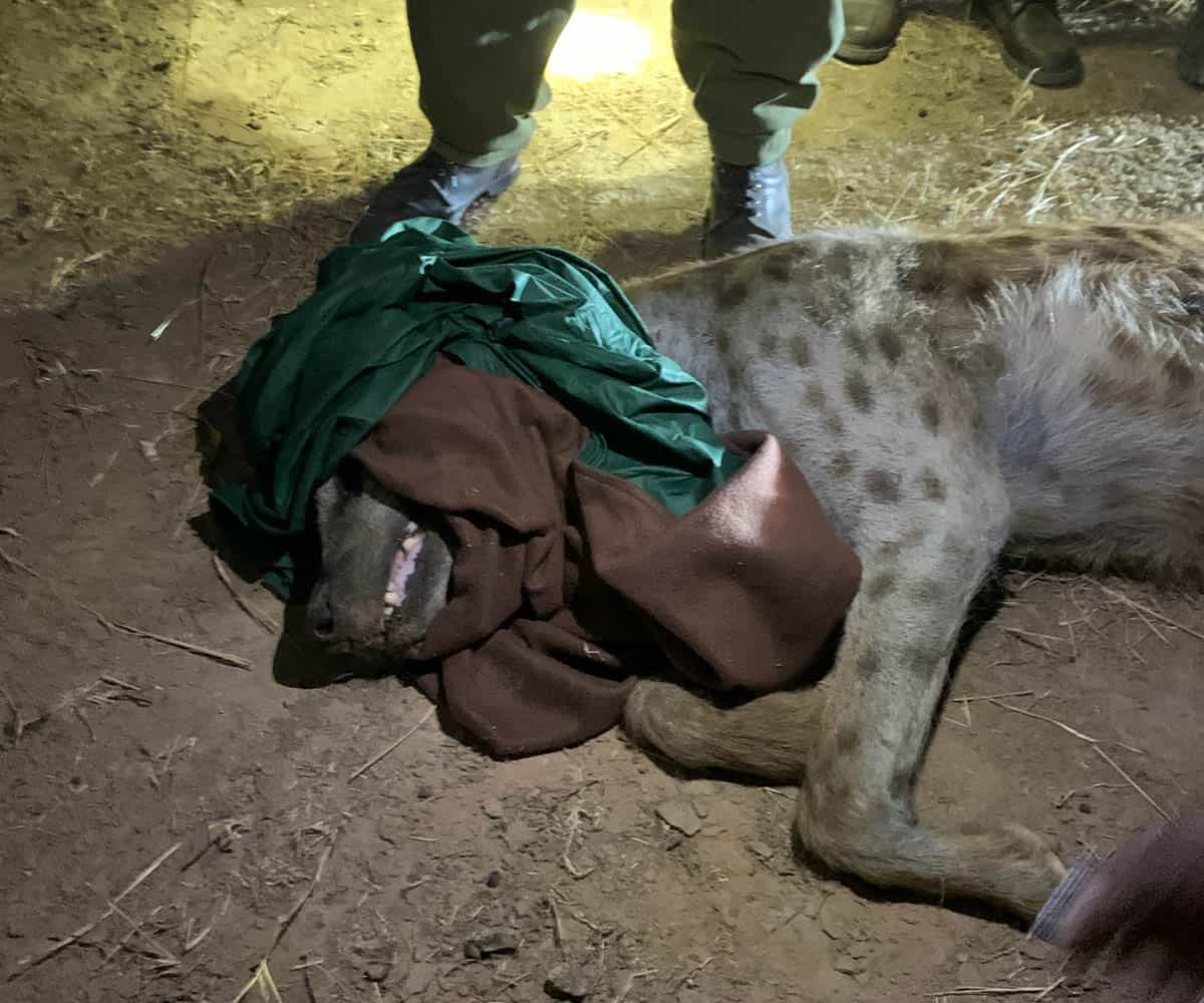 Hyena collaring 1