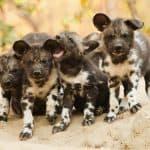 Wild dogs Mana Pools Bushlife Safaris 13