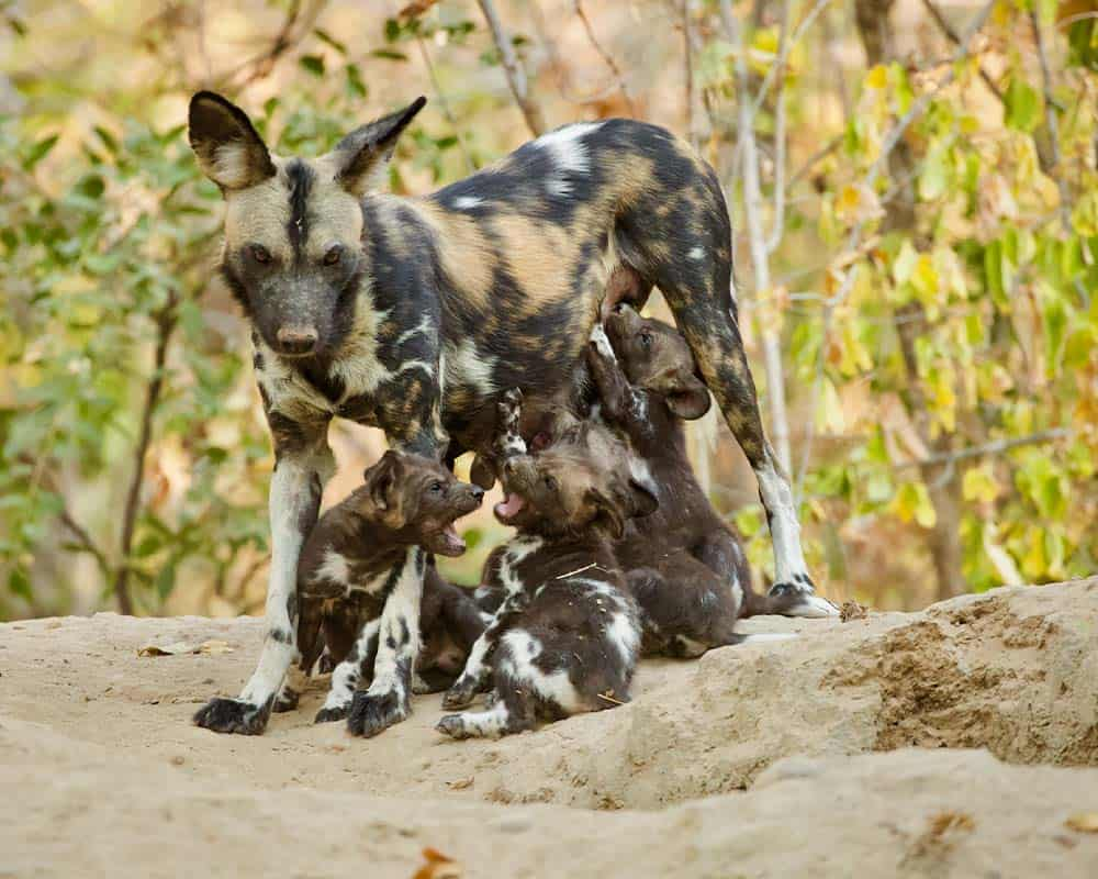 Wild dogs Mana Pools Bushlife Safaris 2
