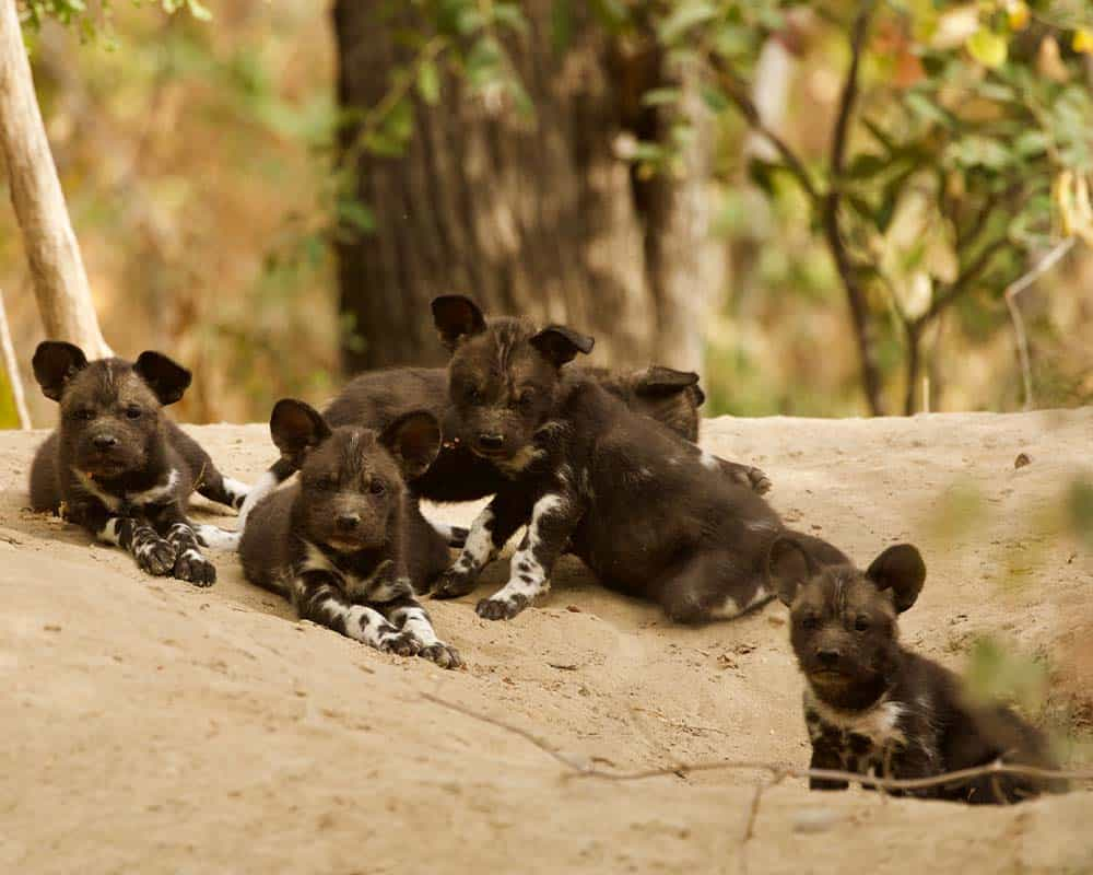 Wild dogs Mana Pools Bushlife Safaris 6