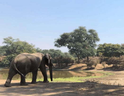 Elephants Mana Pools