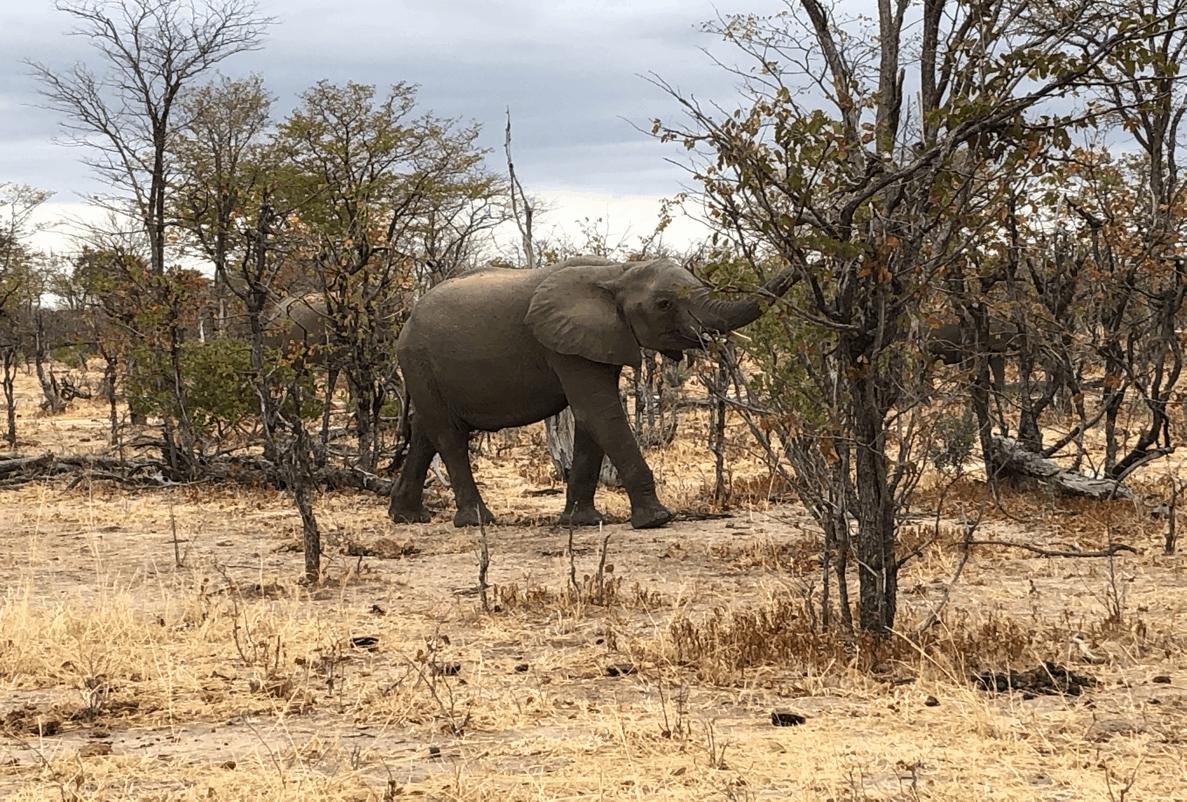 elephant browsing