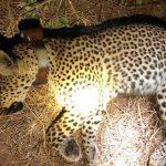 Collared leopard