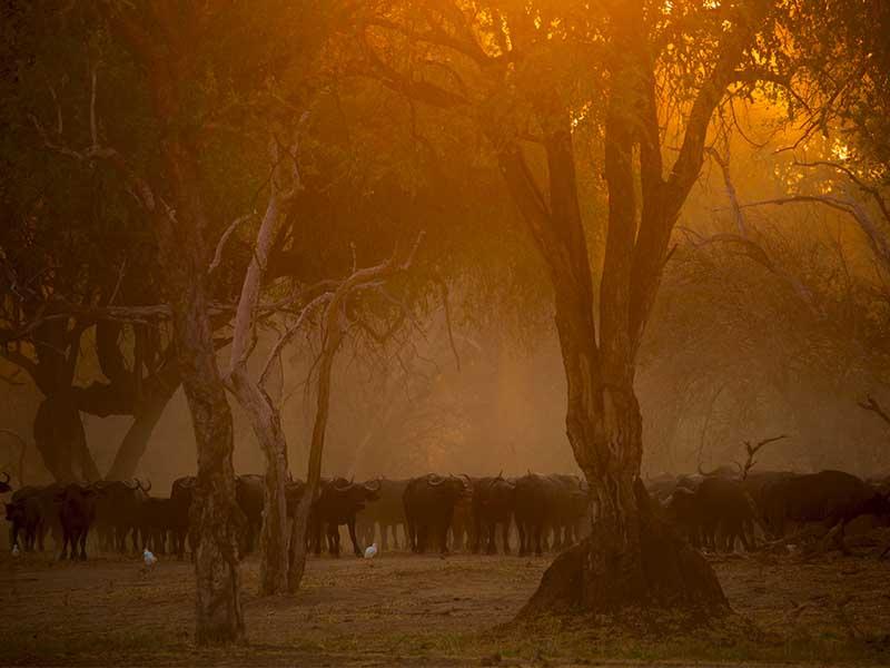 buffalo herd chitake