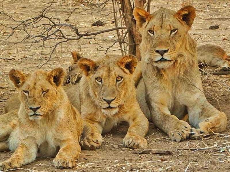 lion chitake